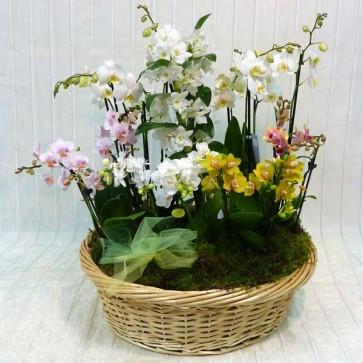 Cesto di Orchidee Deluxe