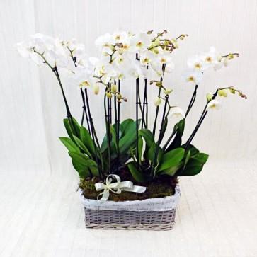 Composizione di Orchidee Grandi
