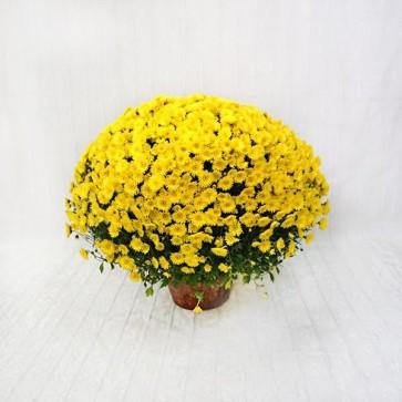 Vaso di Crisantemi Coreani