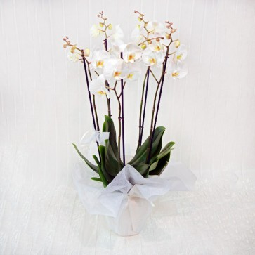 Orchidea Extra