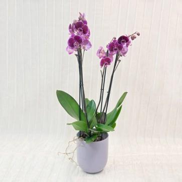 Orchidea lilla con coprivaso