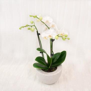 Piccola Orchidea