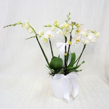 Orchidea Maistro Deluxe