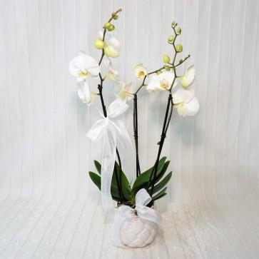 Orchidea Phalaenopsis Maistro