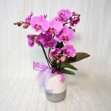 Orchidea Wave rosa