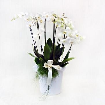 Orchidee in Vaso in Ceramica