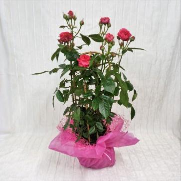Rose da giardino