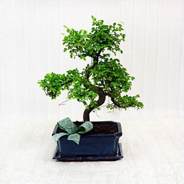 Bonsai fiorista della santa for Accessori per bonsai