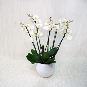 Best  Selling Orchid