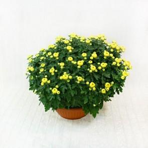 Ciotola di Crisantemi