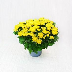 Vaso di Crisantemi