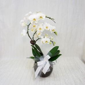 Orchidea a Ventaglio