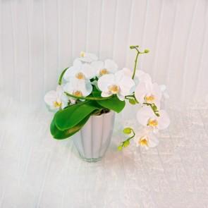 Orchidea Niagara