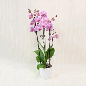 Orchidea Phalaenopsis Rosa/Lilla