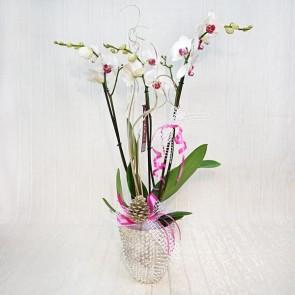 Orchidea Natalizia