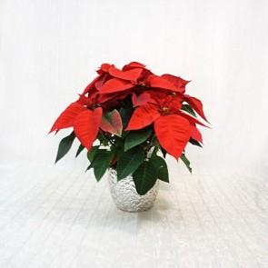 Stella di Natale decorata in coprivaso