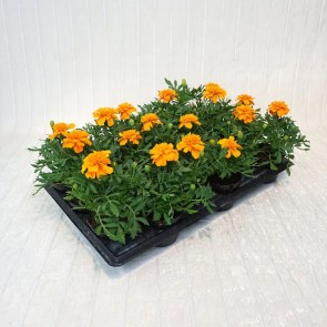 Tagetes Extra